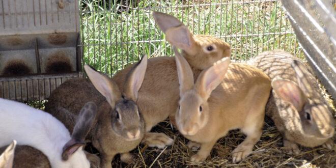 Desarrolla Agricultura vacuna en contra de la Enfermedad de los Conejos