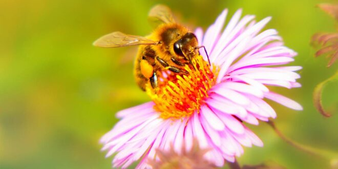 Entrenan abejas para oler el coronavirus